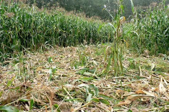 Кабаны на кукурузном поле